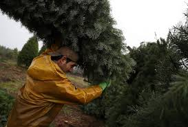 christmas tree prices rise amid post recession scarcity