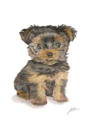 yorkshire terrier puppy a4 coloured pencil colored pencil