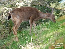 northwest nature notes pacific northwest deer