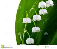 of the valley flower of the valley stock photo image of valley convallaria