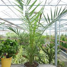 outdoor palm tree l phoenix palm tree garden exotic outdoor plant 5 l pot 85 95cm ex pot