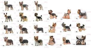 yorkie hair cut chart airedale terrier haircut styles hairs picture gallery