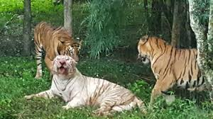 white tiger mauled to death after u0027getting into zoo u0027s bengal tiger
