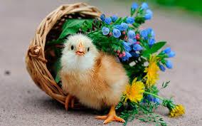 cute little chicken funny hd desktop wallpaper dat nature