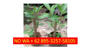 Teh Afrika terbaik no wa 62 895 3257 58105 bibit pohon afrika