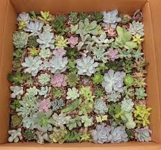 an assortment of 100 succulents potted in 2