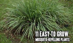 mosquito plants 11 easy to grow mosquito repelling plants iseeidoimake