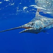 blue marlin national geographic