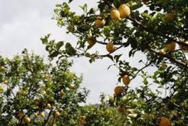 lemon trees vs standard home guides sf gate