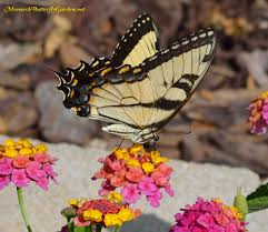 native plants of idaho butterfly plants list butterfly flowers and host plant ideas