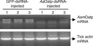 molecular and biological characterization of the amblyomma