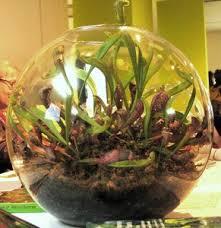 is a venus flytrap terrarium a good idea the carnivore