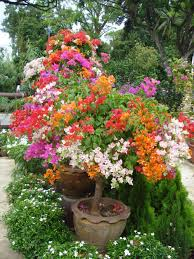 free shipping flowers free shipping 10pcs mix color bougainvillea spectabilis willd
