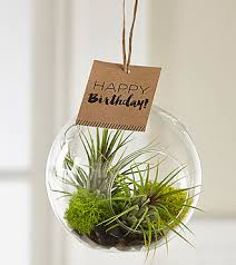 hanging air plant birthday chic hanging air plant