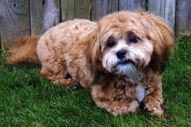 shichons haircut here at shichon puppies we offer
