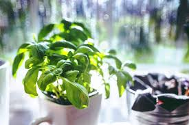 6 edible herbs you can grow at home squarerooms