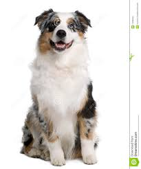 5 monate alter australian shepherd australian shepherd dog 9 months old sitting stock photography
