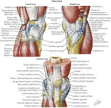 Picture Of Human Knee Muscles Knee Muscles And Tendons Anatomy Anatomy Organ