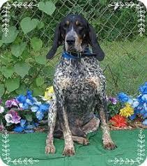 bluetick coonhound west virginia bluetick coonhound dog for adoption in livonia mi adn 437354 on