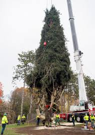 christmas tree ready or not rockefeller center s christmas tree has arrived