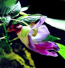 Rainforest Passion Flower - rare thailand parrot flower impatiens psittacina exotic
