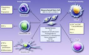 mesenchymal stem cells circulation research