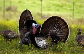 Cheap Turkey Find Turkey Deals On Line At Turkey Hunters Find Their Own Rewards In Different Techniques
