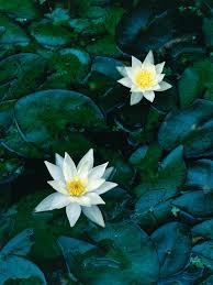 water lilies for a small pond hgtv