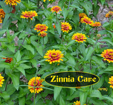 zinnias flowers 5 big zinnia flowers for busy butterfly garden growing tips