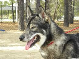 australian shepherd wolf every dog or wolf has its day statefans nation statefans nation