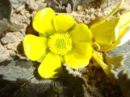 museums and ecology the story of u201clittle frog u201d ranunculus