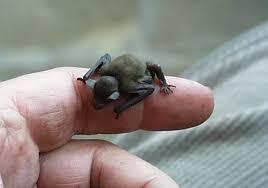 small bat kitti s hog nosed bat tiny but fiesty mammals