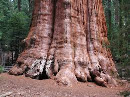 Trees Worldwide General Sherman The Tree In The World