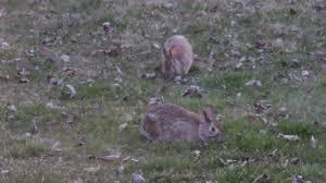 rabbits in the backyard youtube