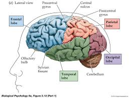 gallery see parts of brain in anatomical diagram human anatomy