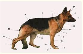 Dog Body Parts Anatomy Anatomy1 Gif