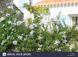 jasmine nightshade solanum jasminoides u003d solanum laxum france