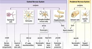 chapter 7 the nervous system lessons tes teach