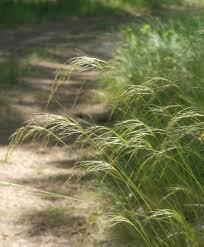 native grass plants which grasses should i plant blackfoot native plants