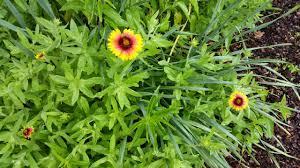native texas plants for shade henderson county texas master gardeners dream garden