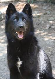 belgian sheepdog national specialty 2014 home wildlife images rehabilitation and education center