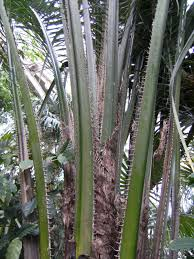 oil palm fronds and oil palm crop residues feedipedia