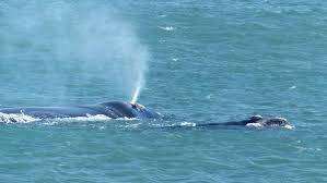 familiar whale returns to fleurieu south coast photos the times