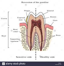 Human Dental Anatomy Human Tooth Anatomy Illustration Recession Of The Gumline Stock