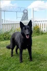 belgian sheepdog on petfinder schipperke dog photo clynalwin schipperkes u0026 german shepherd