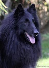 belgian sheepdog tattoo 90 best chien de berger belges belgian shepherd dog images on