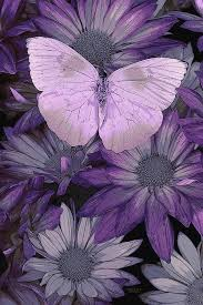 purple pictures the meaning a purple butterfly