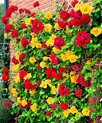 buy climbing rose u0027spanish flag u0027 bakker com