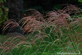 miscanthus knoll gardens ornamental grasses and flowering