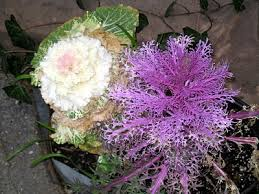 ornamental kale the cabbage that s heights